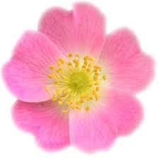 Huile de rose musquée anti age