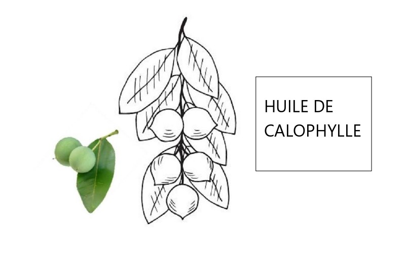 HUILE DE CALOPHYLLE